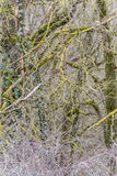 Twigs overgrown with lichen Stock Photos