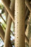 Pandanus baptistii Stock Image