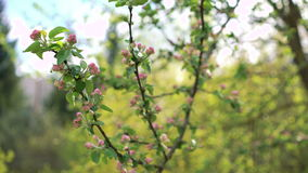 Twigs of paradise apple with small flowers 4k stock video footage