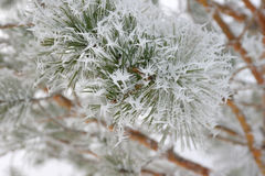 Twigs of pine hoar-frost covered Royalty Free Stock Photography