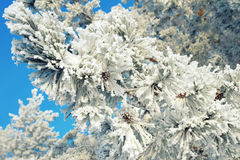 Twigs of pine snow covered Stock Image
