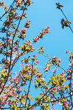 Twigs of pink blossoming apple tree in spring Royalty Free Stock Photography