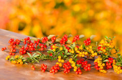 Twigs of pyracantha and cotoneaster Royalty Free Stock Photography