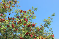 Twigs and red berries of a mountain ash on a blue background. On a sunny day Stock Images