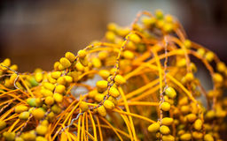 Twigs of ripe date with sweet fruits close up Royalty Free Stock Images