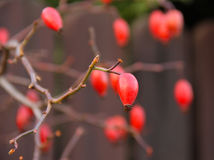 Twigs with rosehips Royalty Free Stock Photo
