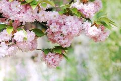 Beautiful cherry blossoming Stock Images