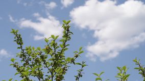 Twigs shaking in the wind. On a cloudy background. Shot outdoors at noon stock footage