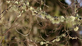 Twigs of trees has moss on it. Twigs of trees has white-colored moss on it stock video footage