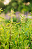 The Twigs Of Wild Nettle, Stinging Nettle Or Urtica Dioica In Summer Stock Photography