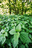 The Twigs Of Wild Nettle, Stinging Nettle Or Urtica Dioica In Summer Spring Meadow stock images