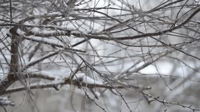 Twigs in the winter and snow falls. stock footage