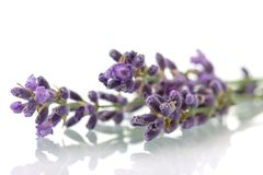 Twijg van verse geurige die lavendel op wit wordt geïsoleerd royalty-vrije stock fotografie