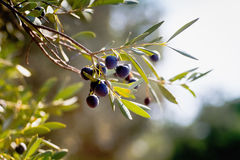 Twijg van wilde olijfboom Stock Foto's