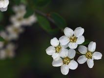 Twijgen van appel met vier kleine geblazen witte bloemen met gele stamens op donkergroene achtergrond van het gebladerte van de t Stock Afbeelding