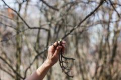 Twijgen van appelbomen in de handen van een meisje royalty-vrije stock afbeeldingen