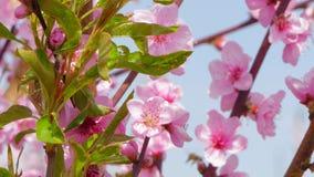 Twijgen van een boom met bloemen en jonge bladeren stock footage