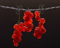Twijgen van rode aalbes stock fotografie