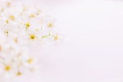 Twijgen van roze vogel-kers op het water met exemplaarruimte Grens, kader Bloemen achtergrond De lente, huwelijksachtergrond Stock Foto's