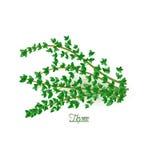 Twijgen van verse heerlijke thyme in realistische stijl Royalty-vrije Stock Afbeelding