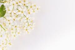 Twijgen van vogel-kers en groen blad op het water met exemplaarruimte Grens, kader Bloemen achtergrond De lente, huwelijksachterg Royalty-vrije Stock Fotografie