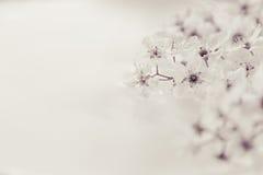 Twijgen van vogel-kers op het water met exemplaarruimte Zwart-wit, sepia Grens, kader Bloemen achtergrond De lente, huwelijksbac Royalty-vrije Stock Afbeeldingen