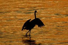 Twilight танцулька egret Стоковые Фотографии RF