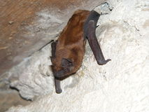 Twilight bat Stock Image