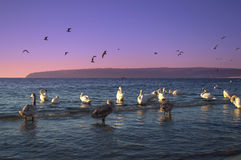 Twilight coast swans. Group of swans cleaning feathers in twilight sea stock photography