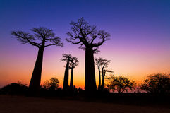 Twilight colors Baobabs Stock Image