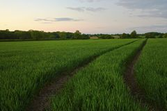 Twilight field of crops Royalty Free Stock Photos