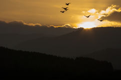 Twilight Flight. Geese flying at sunset. Willamette Valley, Oregon Royalty Free Stock Photography
