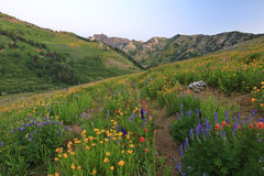 Twilight flowers in the Wasatch mountains. Stock Images