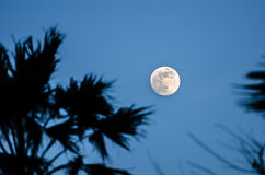 Twilight with the full moon and palm tree silhouette Royalty Free Stock Photo