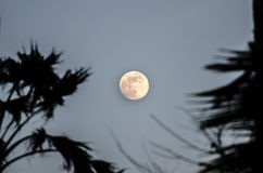 Twilight with the full moon and palm tree silhouette Stock Photos