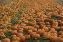 Twilight in the pumpkin field Royalty Free Stock Photography
