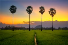 Twilight after sunset in field and palm tree. stock photo