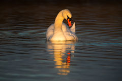 Twilight at Swan Lake Royalty Free Stock Images