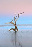 Twilight Tree Skeletons Folly Beach SC Royalty Free Stock Photography