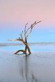 Twilight Tree Skeletons Folly Beach SC Royalty Free Stock Photography
