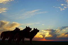 Twilight wolves. Silhouette of three wolves, they stood in the evening sky royalty free stock photos