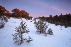 Twilights in winter coniferous forest Stock Photos