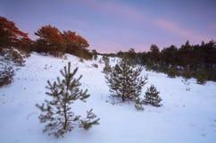 Twilights in winter coniferous forest. Gelderland, Netherlands Stock Photos