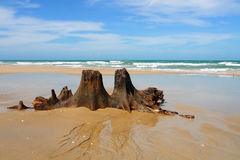 Twin. Climate changes death trees in the beach Royalty Free Stock Photos