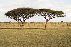 Twin Acacia Trees Royalty Free Stock Photography