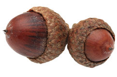 Twin acorns. Macro image of twin acorns isolated against a white background Royalty Free Stock Photo