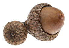 Twin Acorns Royalty Free Stock Images