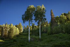 Twin Aspens, Brushed with Sunlight, Telluride, Colorado. Two regal Aspen trees are brushed with late-day sun high in the forested mountains around Telluride Stock Photography