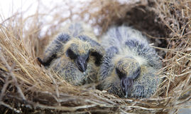 Twin baby birds in the nest Royalty Free Stock Images