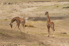 Twin baby giraffes grazing Stock Images